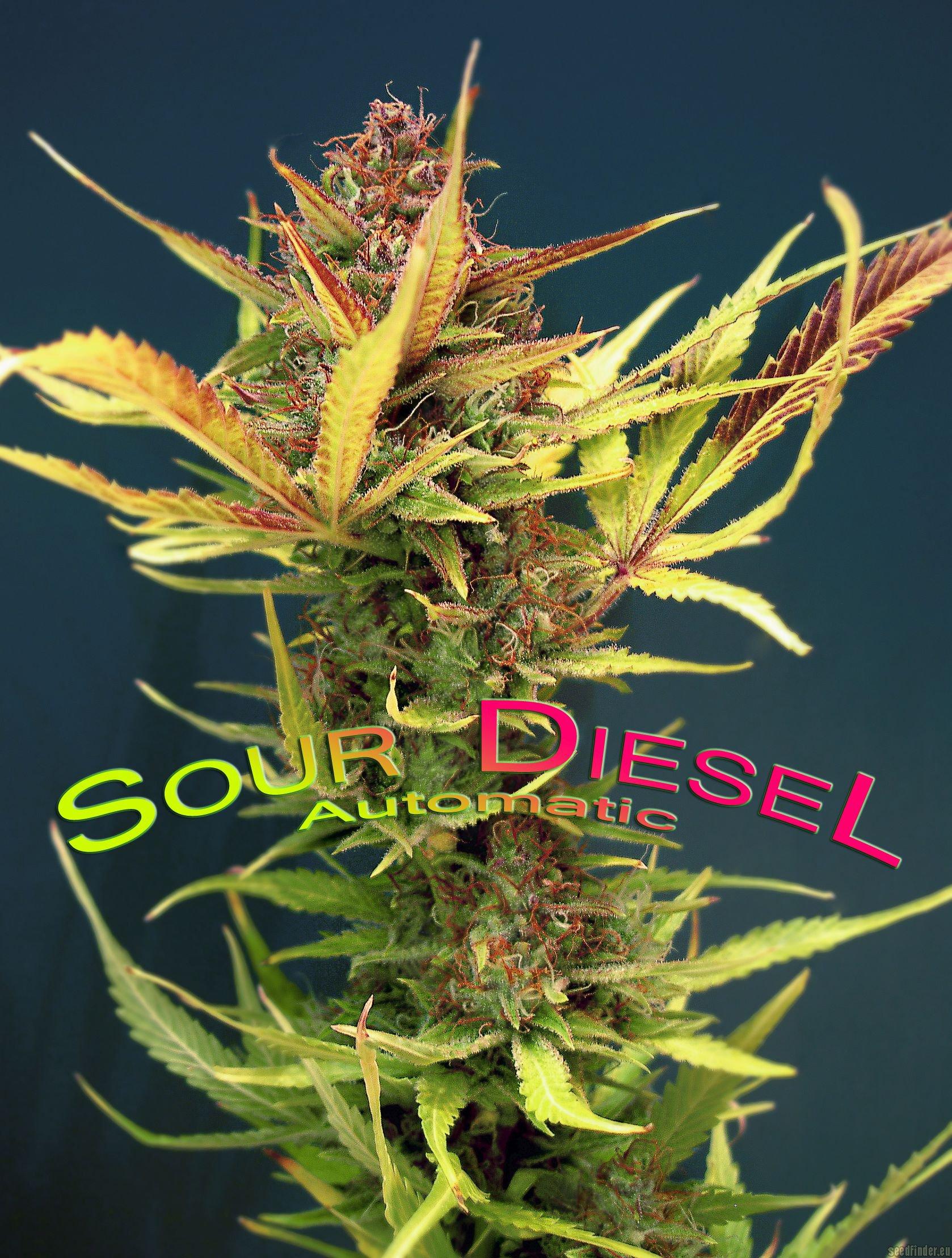 Sour Diesel Autoflowering Hanf Samen von Dinafem Hanfsamen ...