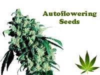 autoflowering-seeds