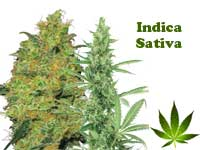 indica-sativa-button